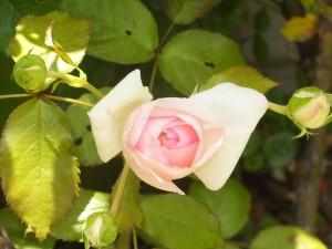 ピエールの花